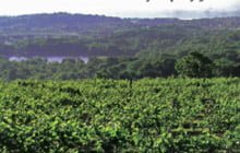 Image of field of wine grapes at Hudson Chatham Winery